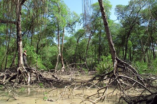 Mangrove © C. Proisy IRD UMR Amap