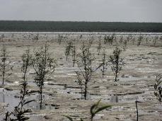 Mangrove pionnière sur vasière © EMichaud CNRS