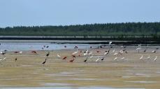 Aigrettes et ibis en alimentation sur une vasière © AGardel