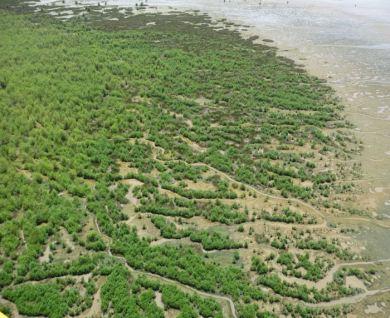 Vasière en cours de colonisation par la mangrove, Sinnamary © JFleury